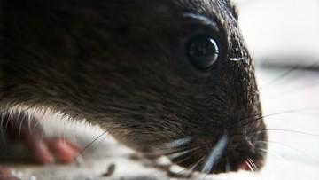 20-12-2016 17:28 Szczury-giganty zjadły żywcem niemowlę. Matka poszła na imprezę