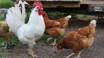 Ognisko ptasiej grypy w Opolskiem. Wirus w stadzie liczącym 228 sztuk drobiu