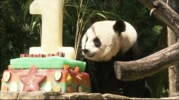 21-08-2016 13:12 Panda Bei Bei świętuje pierwsze urodziny. Był tort i huczne przyjęcie