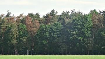 13-06-2016 15:42 Lasy sosnowe w Polsce umierają. Powodem susza i zmiany klimatu