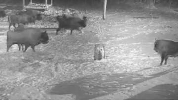 Żubry rządzą w Białowieży. Pogoniły wilki. Zobacz wideo