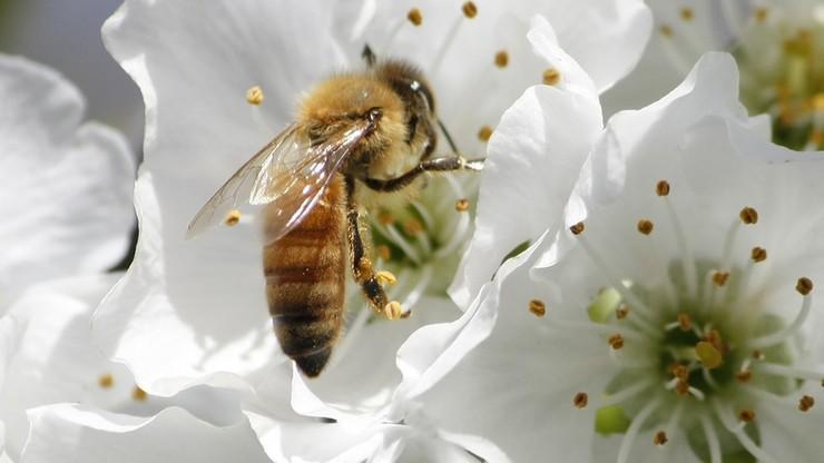 """""""Zakazać pestycydów trujących pszczoły"""" - apeluje Greenpeace"""