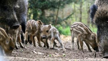 26-01-2016 12:08 40 tys. dzików do odstrzału - projekt ministerstwa rolnictwa
