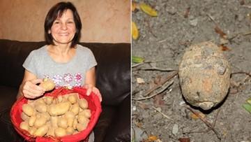 """03-11-2016 08:40 Granat zamiast ziemniaka. Francuzka """"na obiad"""" kupiła niewypał z 1917 roku"""