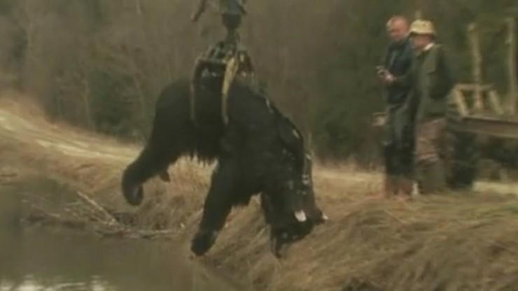 Martwy niedźwiedź w Bieszczadach. Leśnicy badają, co mu się stało