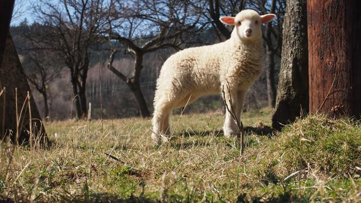 """Ktoś porywa owce ze stad norweskich hodowców. Porywacze mogą stosować metodę """"na wędkę"""""""