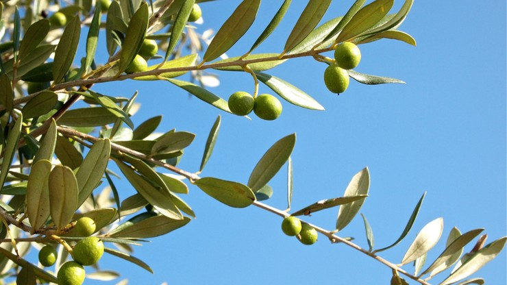 """Włochy: akcja """"Mamma mia"""" ws. afery oliwkowej"""