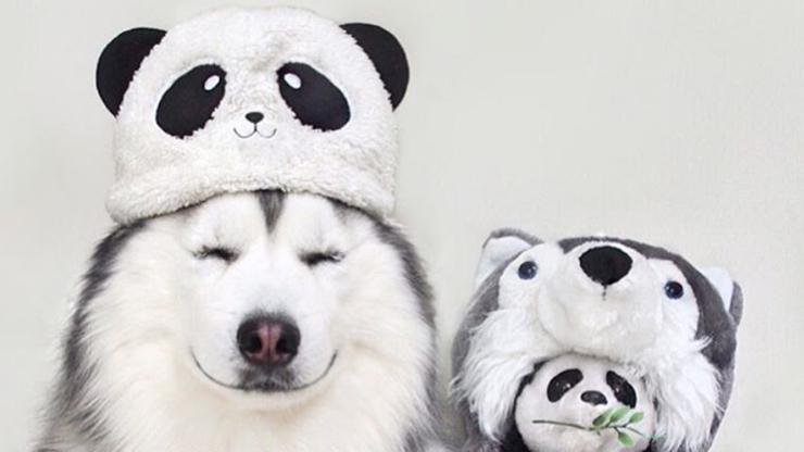 """""""Krzyżówka husky'ego i pandy"""". Maru zarabia na swojej popularności w internecie"""