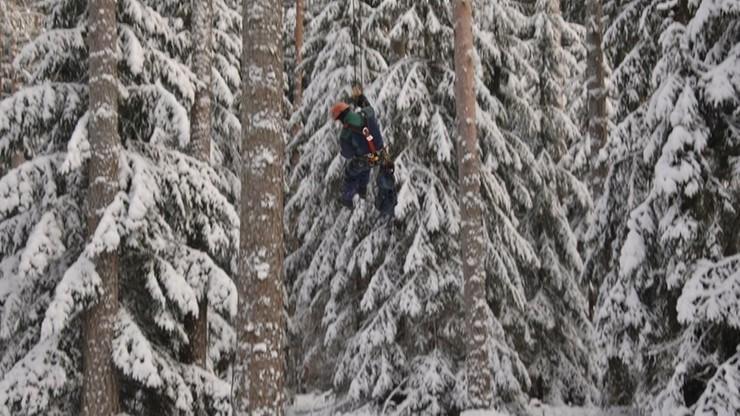 Na najwyższe drzewa wspinają się alpiniści. Zbieracze szyszek wyruszyli do lasów