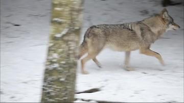25-11-2015 18:41 Wilki pojawiły się w podwarszawskiej puszczy