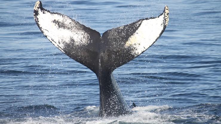 Japoński rząd chce zwiększyć połowy wielorybów