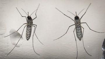25-04-2016 13:03 WHO: będzie wzrost zakażeń wirusem Zika. Głównie w Europie