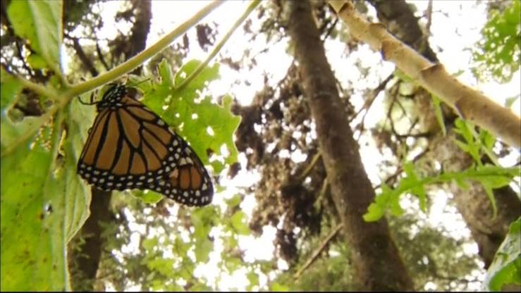 Niezwykła wędrówka motyli monarchów
