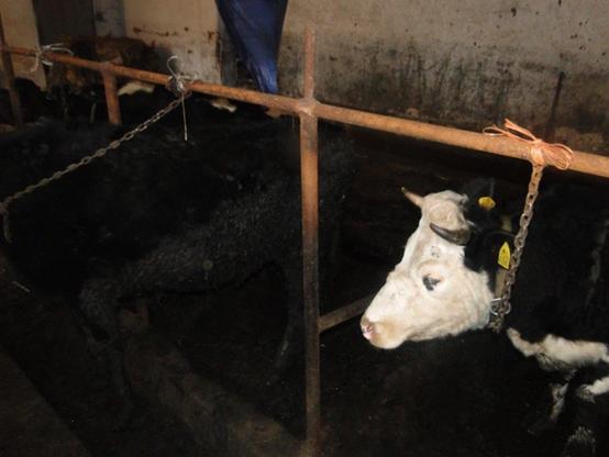 Krowy tonęły we własnych odchodach. Interweniowało Towarzystwo Ochrony Zwierząt