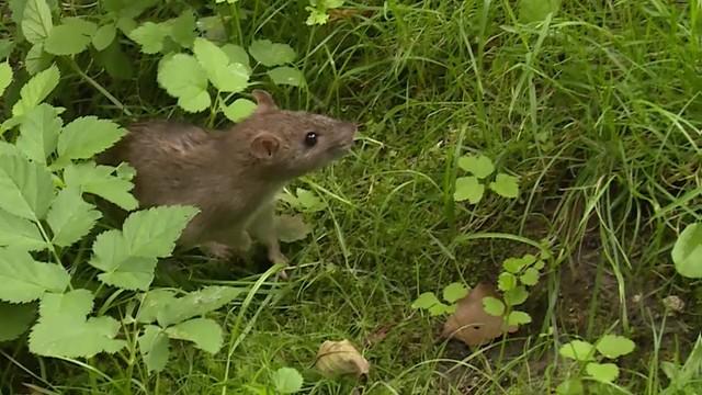 Inwazja szczurów w Krakowie. Władze miasta nie mają na nie sposobu