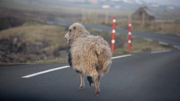 14-07-2016 16:24 Sheep View, czyli owce kręcą filmy, by wypromować wyspy
