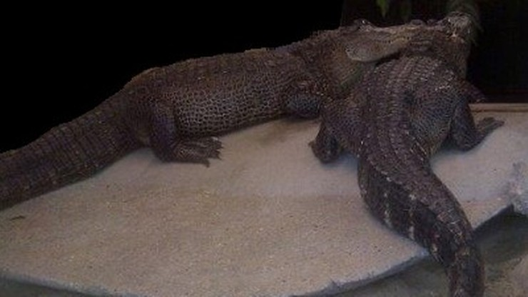 Krokodyle pilnowały pieniędzy holenderskich gangsterów