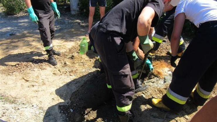 Pies ugrzązł w asfalcie. Zobacz akcję strażaków