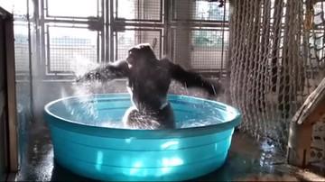 Piruety goryla w basenie. On jest niesamowity