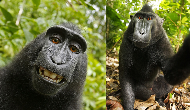 Makak  bez praw autorskich do swojego selfie