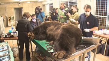 09-04-2017 15:57 Niedźwiedzie z poznańskiego zoo u dentysty