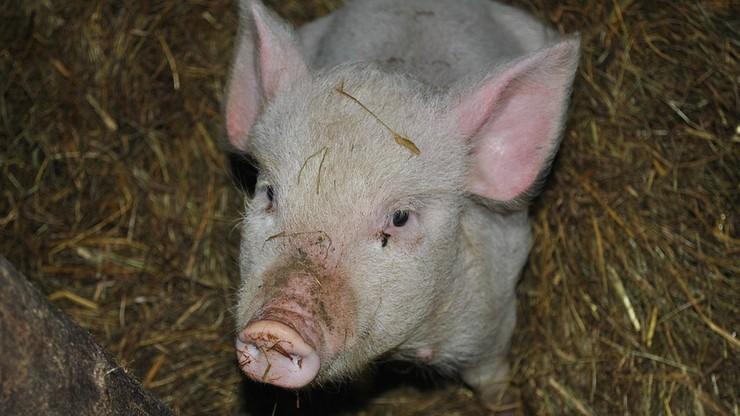 Białoruś czasowo ograniczyła import wieprzowiny z Polski i Rosji