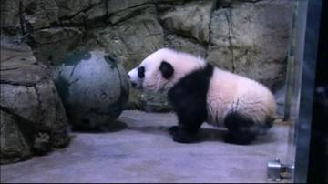 17-01-2016 10:15 Debiut 5-miesięcznej pandy w waszyngtońskim zoo