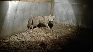 Przyprowadził do urzędu wilka na smyczy. Zwierzę miało się błąkać po ulicach Białegostoku