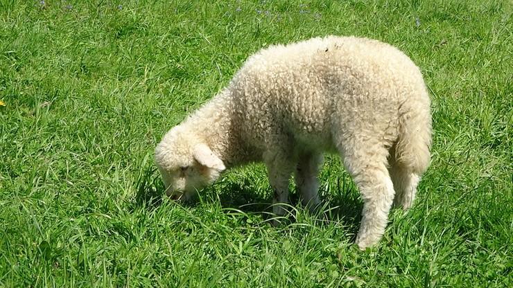 Owce alternatywą dla świń. Resort rolnictwa chce rozwijać ich hodowlę