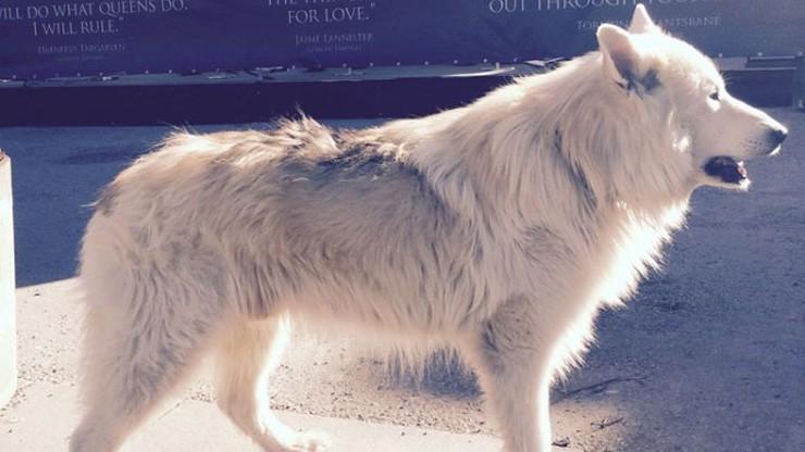 """Husky ofiarą """"Gry o Tron"""". Trafiają do schronisk, bo nie każdy umie wychować wilkora"""