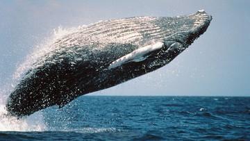 """""""Okrutna rzeź wielorybów"""". Miliony osób podpisało petycję do rządu Norwegii"""