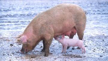 Spada pogłowie świń w Polsce - alarmują eksperci