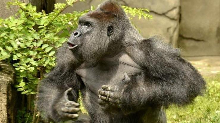 Zabili goryla, by ratować 4-latka