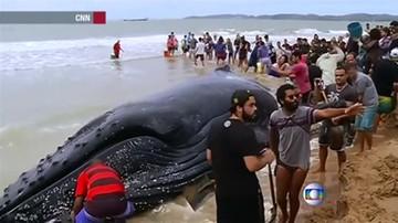 Młody wieloryb na piasku. Pomogli mu plażowicze