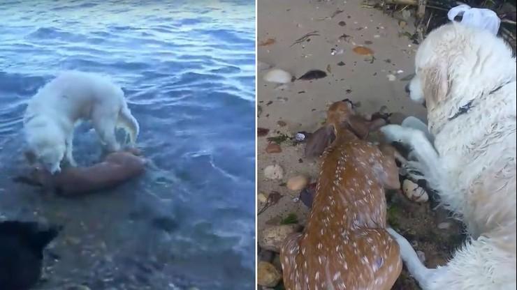 Pies uratował tonącego jelonka. Rzucił się za nim do morza