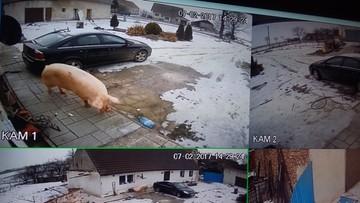 23-02-2017 15:35 Staruszka ofiarą 300-kilogramowej świni