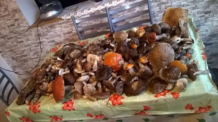 2016-08-22 Poszedł do lasu z tatą. W pół godziny zebrali wiadro, koszyk i dwie reklamówki grzybów!