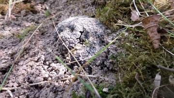 13-09-2016 14:41 Trufle z polskiej uprawy - naukowcy zebrali pierwsze grzyby po 8 latach od założenia ogrodu