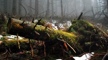 Eksperyment ministra Szyszki: odbudowa środowiska w Unii na wzór Puszczy Białowieskiej