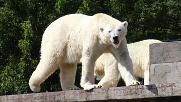 2016-11-30 Tort lodowo-śledziowy, czyli warszawskie niedźwiedzie polarne świętują urodziny