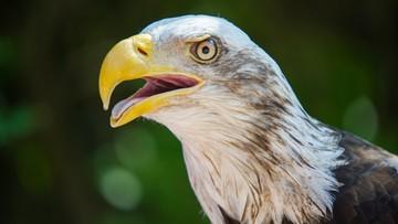 """02-02-2016 21:28 Holandia: policja chce wykorzystywać orły do zwalczania dronów. """"Obiecujące rezultaty"""""""