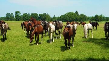 09-08-2017 07:10 Święto Konia Arabskiego od piątku w Janowie Podlaskim. Aukcja i pokaz koni