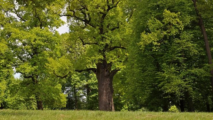 Józef z Podkarpacia walczy o tytuł Europejskiego Drzewa Roku. Bo  Józef to jest dąb