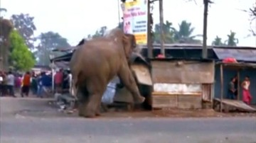 10-02-2016 19:10 Słoń zdemolował miasto w Indiach. Zniszczył domy i samochody