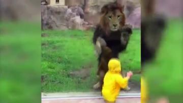 05-06-2016 16:34 Lew rzucił się na dziecko. Wstrząsające nagranie