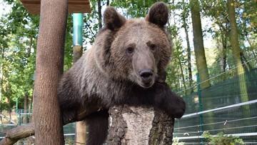 """21-10-2016 15:24 Niedźwiedzica Cisna i inni """"dzicy"""" podopieczni poznańskiego zoo zagrożeni"""