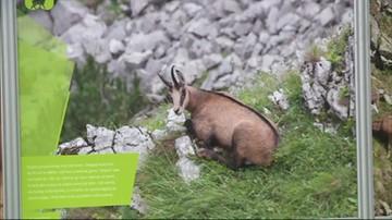 Policzono kozice w Tatrach. Po obu stronach granicy