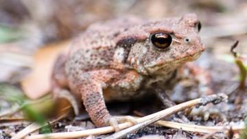 20-03-2016 13:45 Płotki wzdłuż dróg chronią wiosną biebrzańskie żaby
