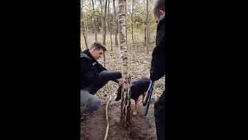 22-04-2017 18:55 Suczkę przywiązaną drutem do drzewa znalazł rozbrajający wnyki. Interwencja fundacji