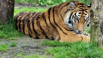 Akt oskarżenia ws. pracownika wrocławskiego zoo zabitego przez tygrysa
